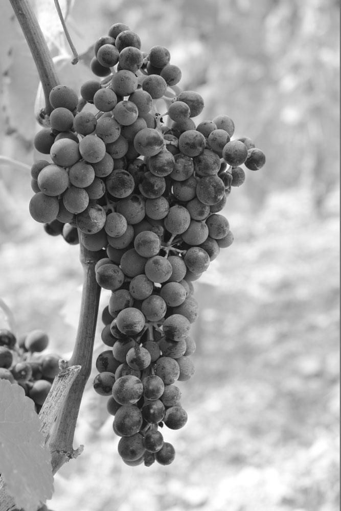 raisin emmanuel darnaud vin