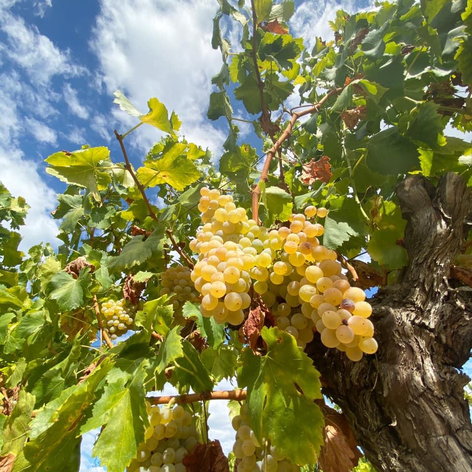 Château Puech Haut Lyon Vins Tradition vignes raisin