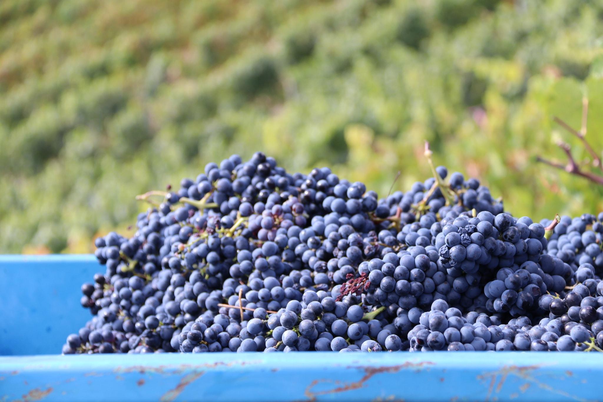 Domaine Bonnard & Fils Famille bonnard raisin