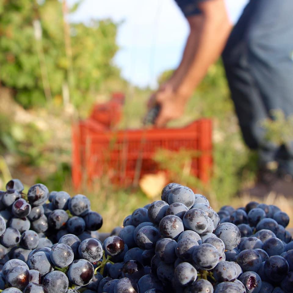Château Puech Haut Lyon Vins Tradition vignes raisin vendanges
